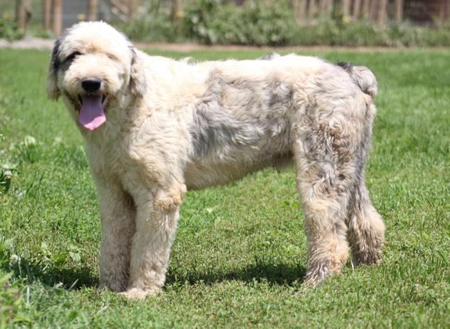 Retti Amp Geno Puppies Born 1 26 2017 Lawpdoodle K9 Manor